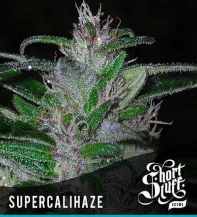 Super Cali Haze Feminized – Short Stuff