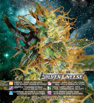 Silver Cheese Feminized by Big Buddha Seeds