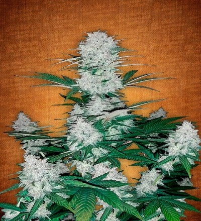 Six Shooter by Fast Buds Seeds