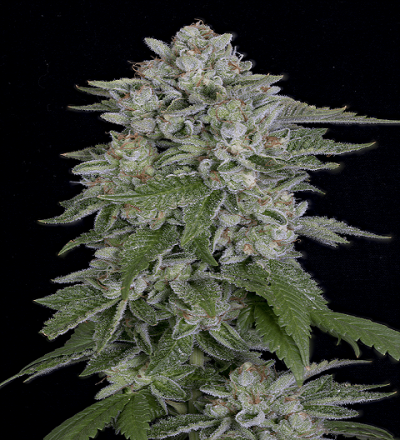 Skywalka Cookies by Bighead Seeds