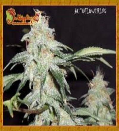 Sonic Bloom Feminized by Dr Krippling Seeds