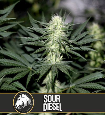 Sour Diesel by Blim Burn Seeds