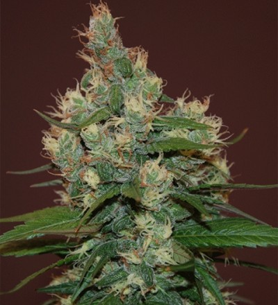 Sour Turbo Diesel by Cream of the Crop Seeds