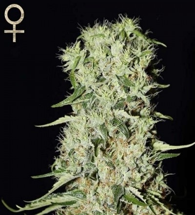 Damnesia by Strain Hunters Seeds