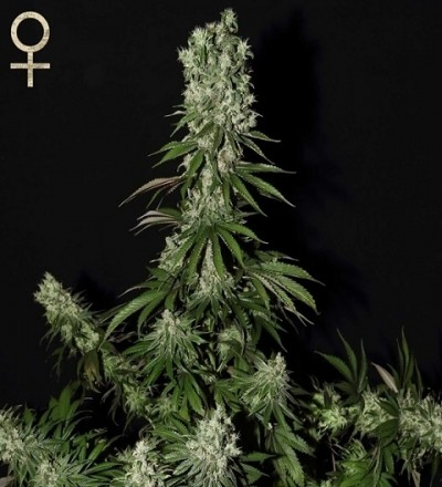 White Strawberry Skunk by Strain Hunters Seeds