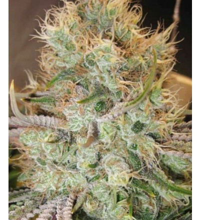 Strawberry Banana by Bighead Seeds