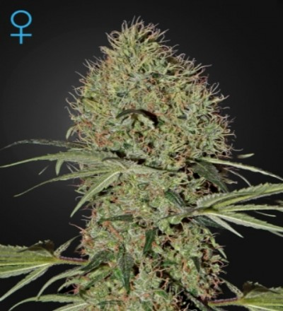 Super Bud Auto Feminized Marijuana Seeds