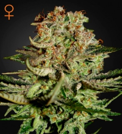 Super Bud Feminized Marijuana Seeds