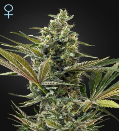 Super Lemon Haze Auto CBD Feminized Marijuana Seeds