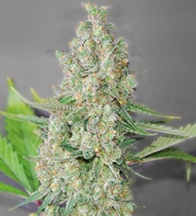 G13 Labs Super Skunk