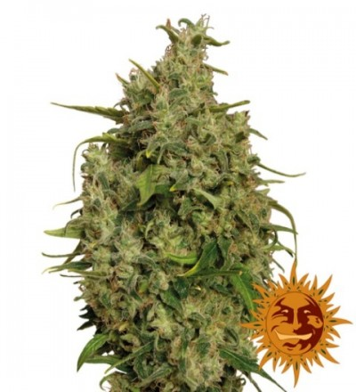 Sweet Tooth Feminized – Barney's Farm