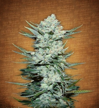 Tangie'matic by Fast Buds Seeds