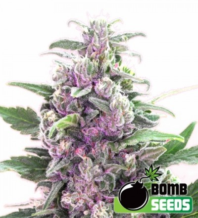 THC Bomb Feminized Marijuana Seeds