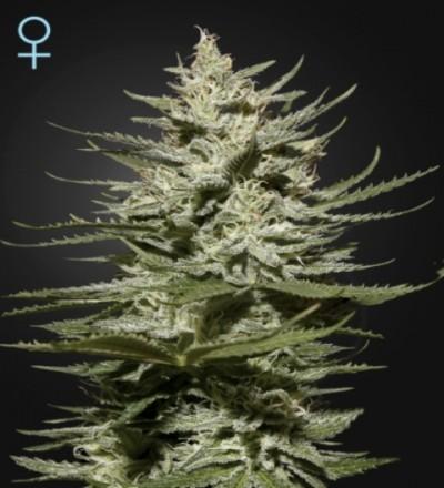 The Church CBD Feminized Marijuana Seeds