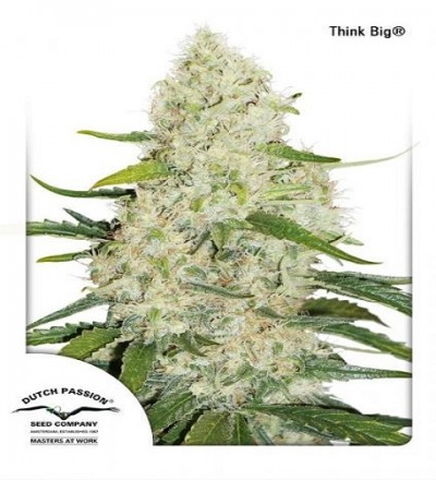 Think Big By DP Seeds