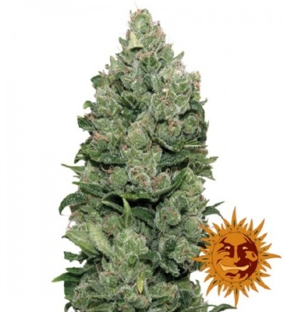 Top Dawg Feminized - Barney's Farm