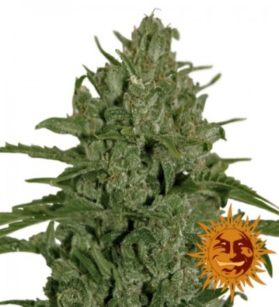 Triple Cheese Feminized - Barney's Farm