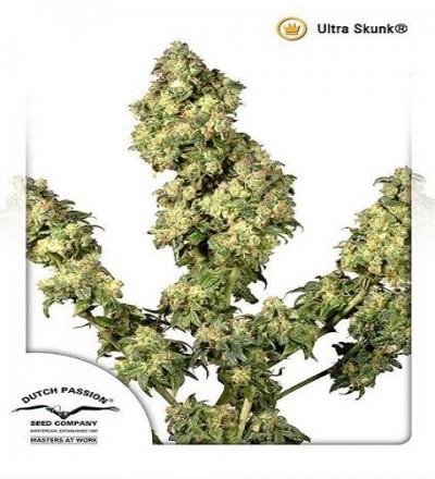 Ultra Skunk by DP Seeds