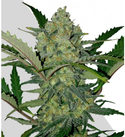 Ultra Lemon Haze Marijuana Seeds
