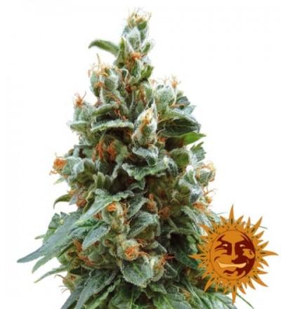 Vanilla Kush Feminized Marijuana Seeds