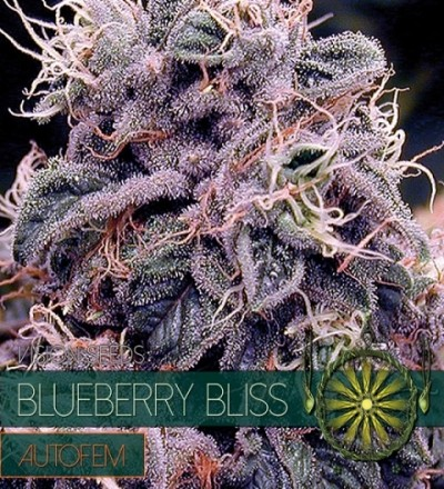 Blueberry Bliss Auto by Vision Seeds