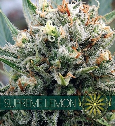 Supreme Lemon Feminized by Vision Seeds