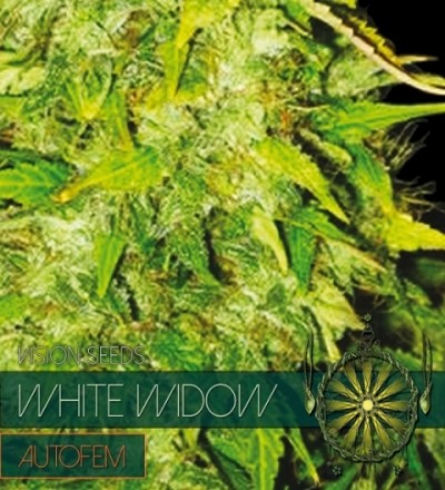 White Widow Auto by Vision Seeds