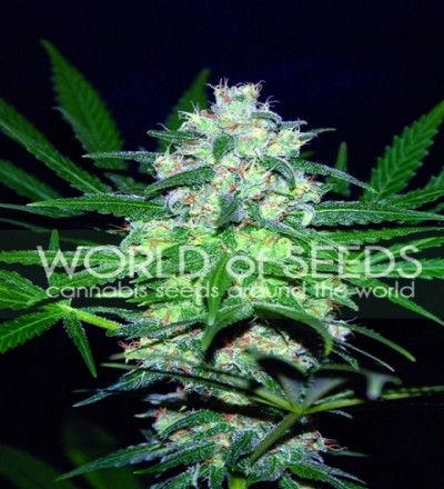 Pakistan Valley by W.O.S. Seeds