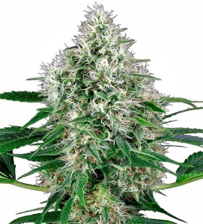 Power Plant Auto by White Label Seeds