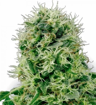 Pure Power Plant Feminized by White Label Seeds