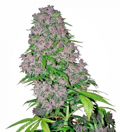 Purple Bud Feminized by White Label Seeds