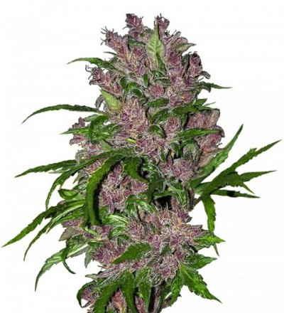 Purple Bud Automatic by White Label Seeds