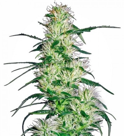 Purple Haze Feminized by White Label Seeds