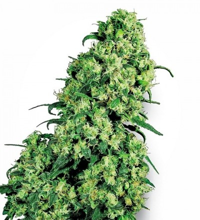 Skunk #1 Feminized by White Label Seeds