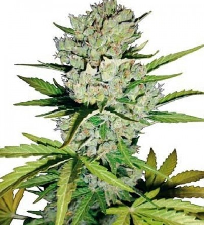 Super Skunk Automatic by White Label Seeds