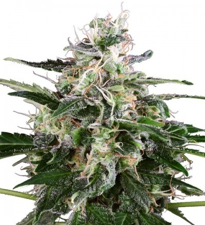 White Skunk Automatic by White Label Seeds