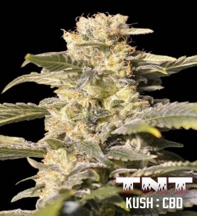 TNT Kush CBD by Eva Seeds