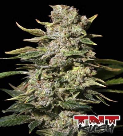 TNT Kush by Eva Seeds