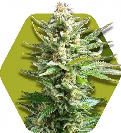 Amnesia Haze XL by Zambeza Seeds