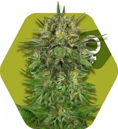 Blue Brilliant by Zambeza Seeds (