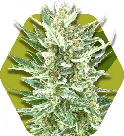 Vanilla Ice by Zambeza Seeds