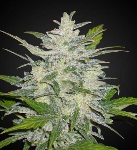 Lowryder 2 weed