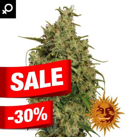 SWEET TOOTH FEM Marijuana Seeds