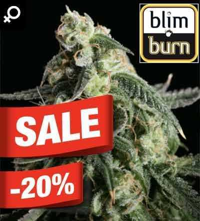 Girl Scout Cookies Feminized Blim Burn Seeds