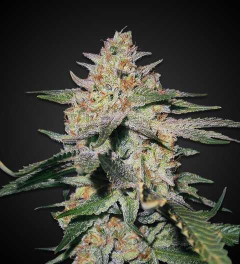420 northern lights seeds