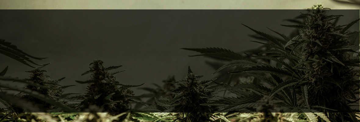 Marijuana Affiliates