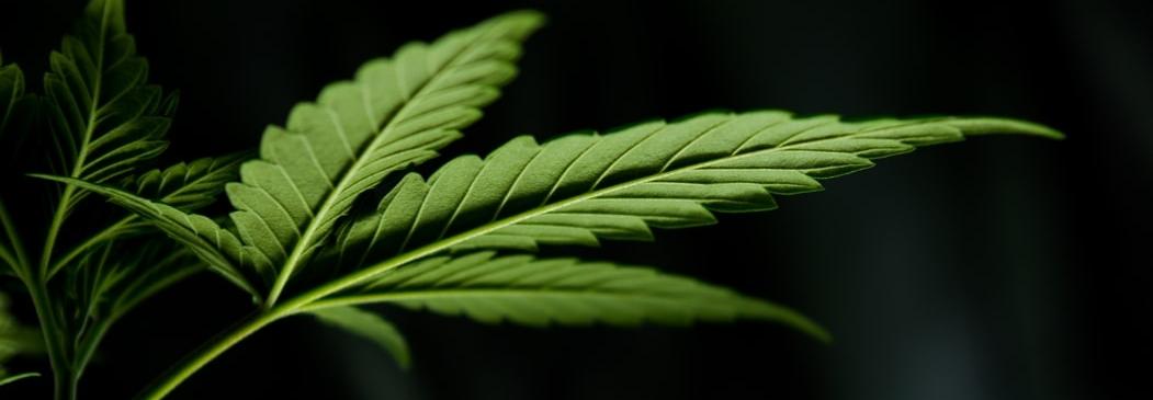Cloning Marijuana: How to Clone a Cannabis Plant