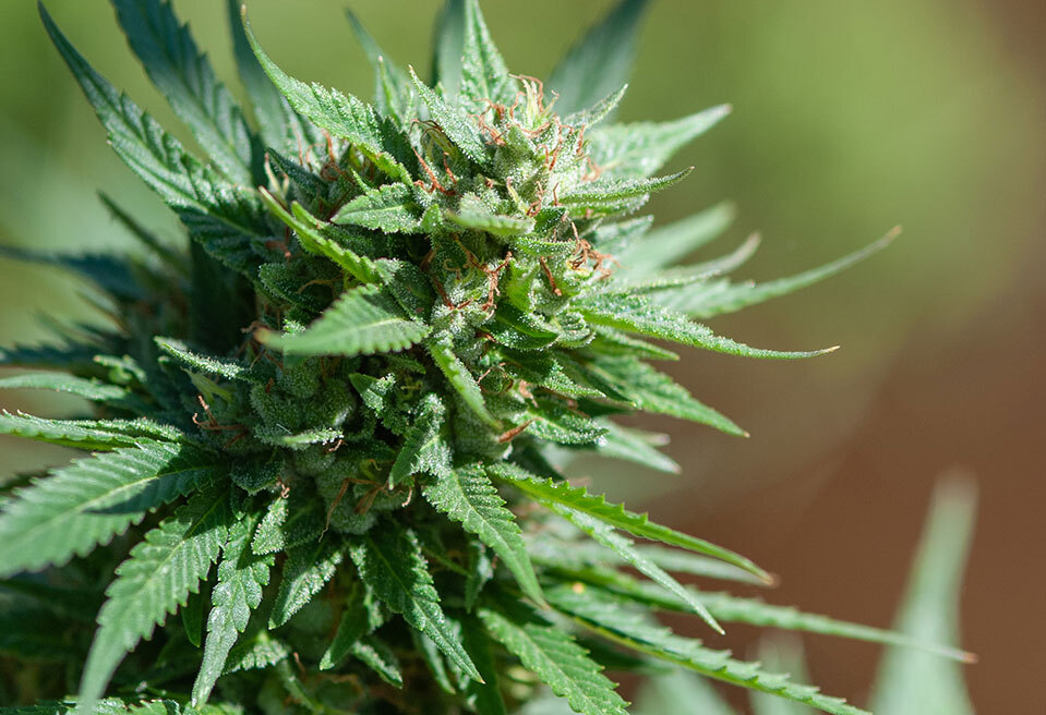 What are landrace and heirloom marijuana strains?