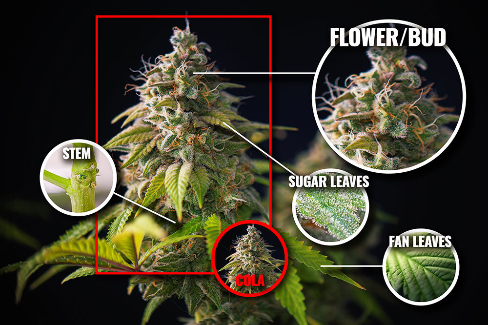Anatomy of a cannabis plant