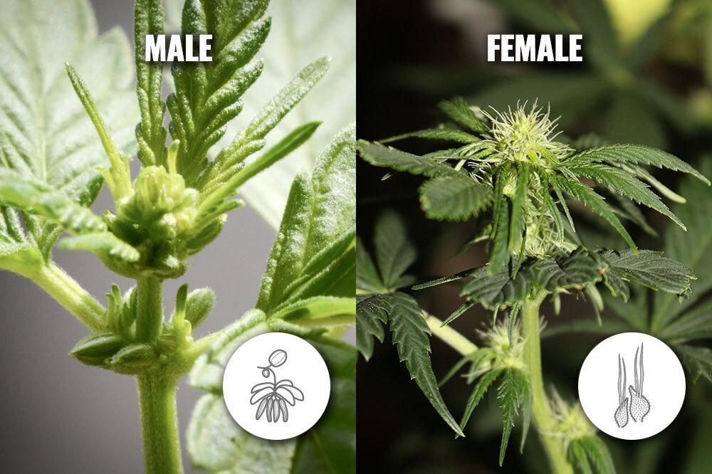 Male and female marijuana plants